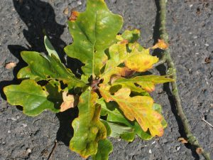 Eichenblatt - Eiche